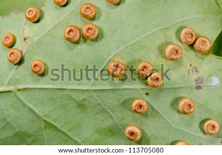macro butterfly or moth eggs, underside of oak leaf