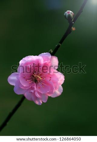 macro cherry blossoms flowers - stock photo