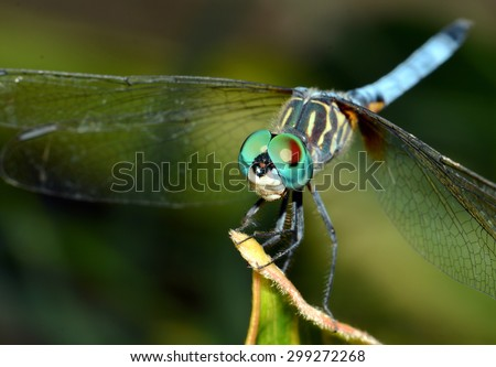 Macro Close Up Image Of A Beautiful Male Blue Dasher Dragonfly (Pachydiplax longipennis) Perched On A Leaf.