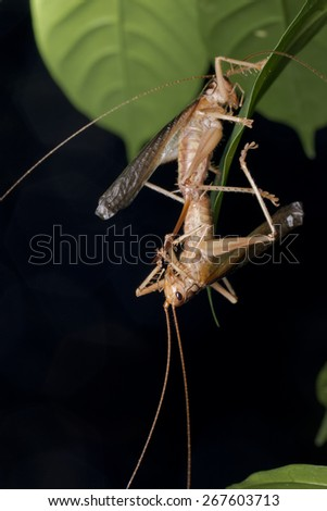 Macro / close-up image of a mating pair of cricket / katydid with the male hanging upside down.