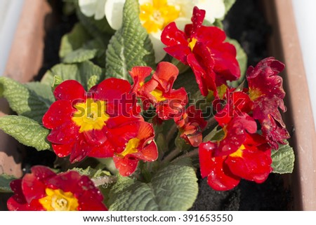 Macro, close-up image of wet red and yellow primrose flower (Primula) in balcony pot