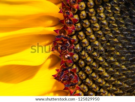 Macro close up of a golden yellow sunflower showing seed pattern and detail. - stock photo