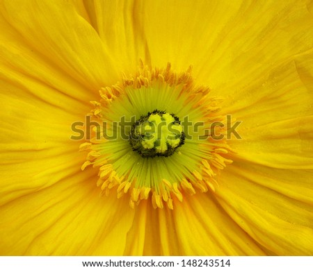 Macro close up of a yellow Iceland Poppy - stock photo