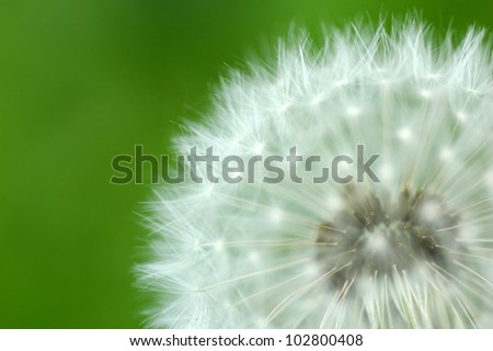 Macro close up of dandelion on green background - stock photo