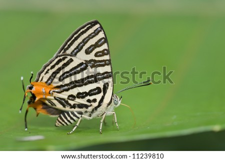 Macro/close-up shot of a long banded silverline butterfly on a green leaf