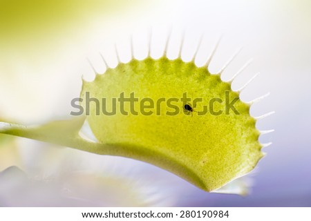 Macro close up shot of a small spider on a venus flytrap leaf - stock photo