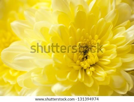 Macro close up shot of yellow chrysanthemum - stock photo