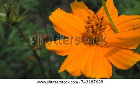 Macro close up yellow orange full blooming Cosmos sulphureus flower pollen