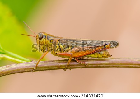Macro  closeup Grasshopper perched on a plant stem. - stock photo