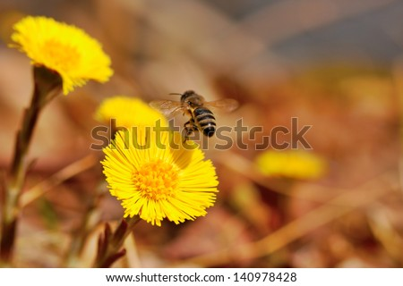 macro closeup honey bee collecting pollen from yellow wild flowers, in flight flying away from viewer - stock photo