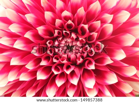 Macro(closeup) of dahlia flower with pink petals arranged in circle. The brilliantly beautiful flower has a stunning pattern of petal arrangement in circular or concentric circular fashion - stock photo
