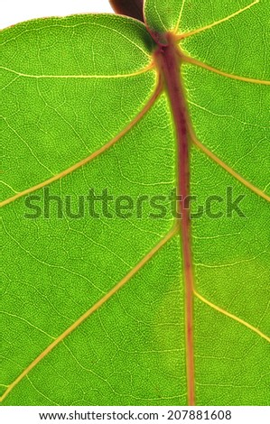 Macro closeup of veins of Coccoloba uvifera sea grapes leaf on white background