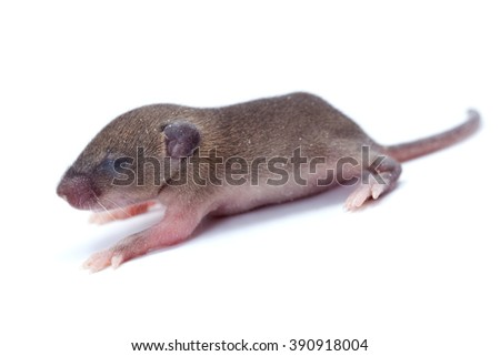 Macro closeup on baby house mouse  (mus musculus) - stock photo