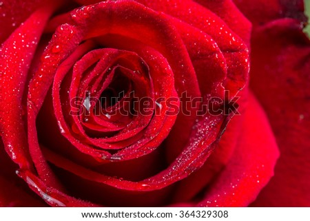 macro closeup view of red rose with water drops, shallow depth of field