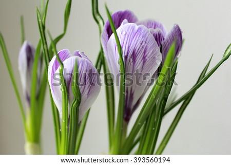 Macro. Crocus flower. Crocus purple flowers in a pot. - stock photo
