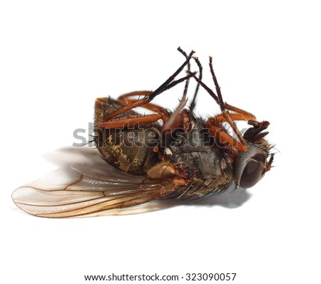 macro dead fly isolated on white background