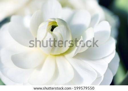Macro detail of blooming white lotus flower - stock photo