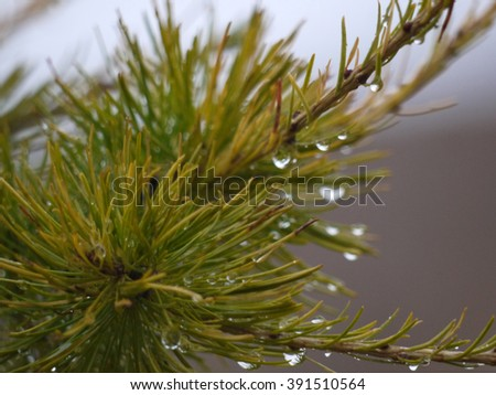 macro filming of a drop of dew on larch branches fall Russia South Ural