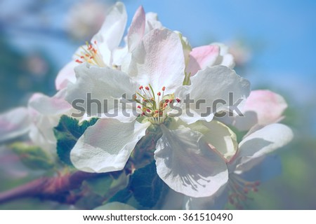 macro flower of blooming apple tree on blue sky  - stock photo