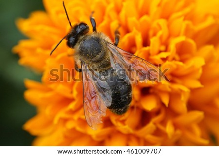 Macro fluffier honeybee Apis mellifera collecting honey on a bright yellow complex inflorescence Caucasian Tagetes