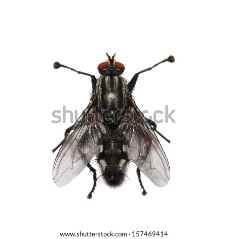 macro fly isolated on white background - stock photo