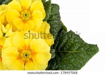 macro fo yellow flower primrose Isolated on White Background - stock photo