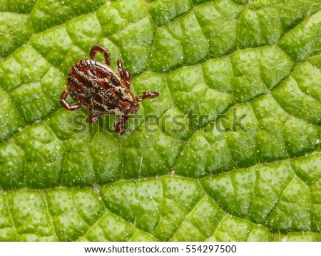 Macro from above of ornate dangerous disease carrier tick (Ixodidae, Dermacentor reticulatus) waiting of host on leaf background