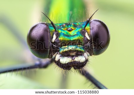 Macro frontal portrait shot of a Banded Demoiselle Dragonfly black eyes Calopteryx splendens - stock photo