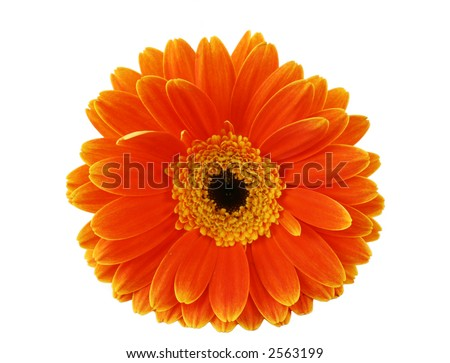 Macro Gerbera isolated on a white background
