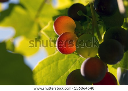 Macro grapes in a sunny vineyard - stock photo