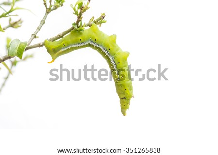 Macro green worm on the tree branch isolated on white background - stock photo