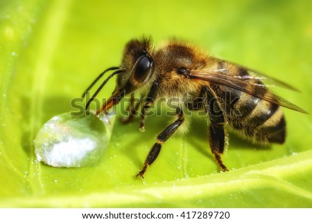 Macro image of a bee drinking a water drop from a green leaf - stock photo