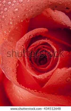 Macro image of a carroty reddish rose - stock photo