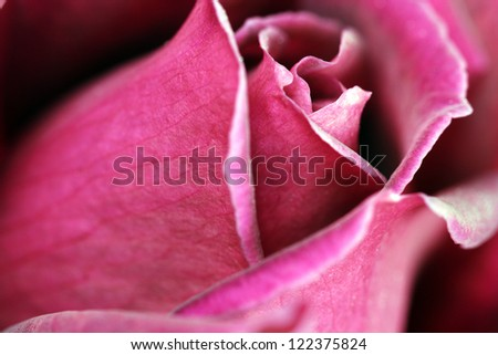 Macro image of a dark red rose - stock photo