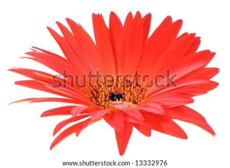 macro image of a gerbera flower in red and yellow with pointy leaf edges. Isolated on white
