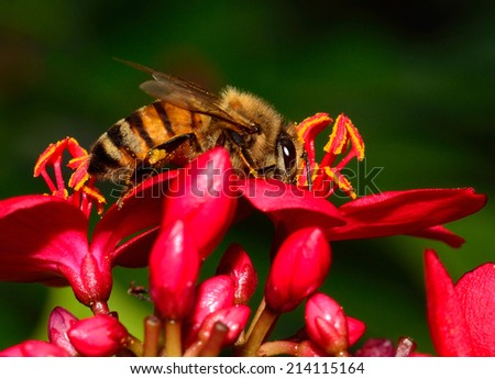 Macro Image Of A Honey Bee (Apis mellifera) Collecting Pollen From A Cluster Of Red Flowers. - stock photo