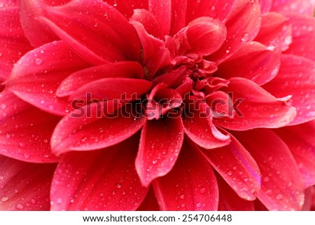 Macro image of a light red dahlia flower in fresh blossom with droplets on petals - stock photo