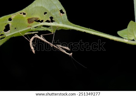 Macro image of a mantis nymph underneath a green leaf