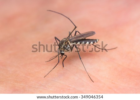 Macro-image of a mosquito on a human leg sucking blood - stock photo