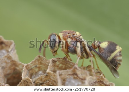 Macro image of a paper wasp guarding larvae and egg in the hive of the colony - stock photo