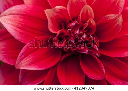 Macro image of a red dahlia flower in fresh blossom isolated - stock photo