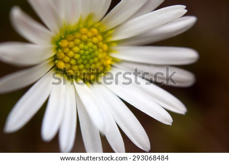 Macro image of an Oxeye daisy (Leucanthemum vulgare) in an Alpine meadow - stock photo