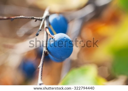 Macro image of blue fruit of the blackthorn, small depth of field.  Beautiful autumn nature - stock photo