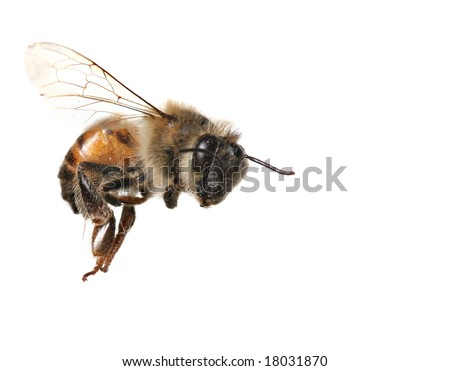 Macro Image of Common Honey Bee From North America Flying on White Background - stock photo