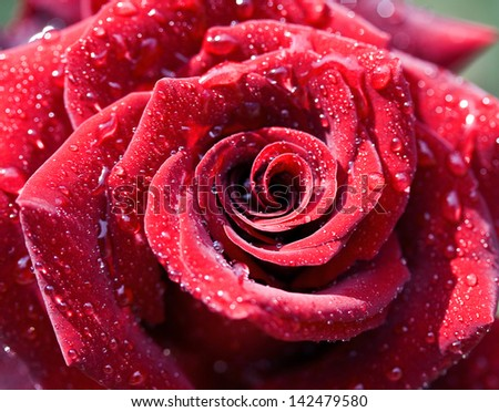 Macro image of dark red rose with water droplets. Extreme close up with shallow dof. - stock photo