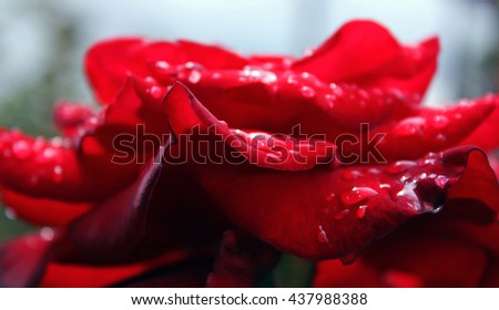 Macro image of dew drops on the red rose petals after rain. Background, biology. - stock photo