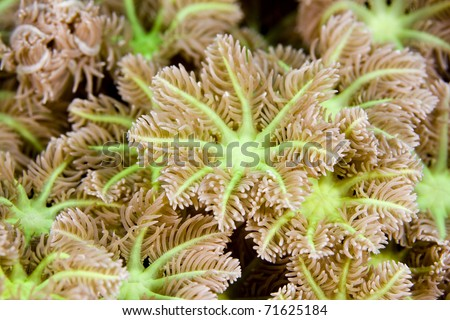 Macro image of soft coral polyps with electric green detail. Taken in the Wakatobi, Indonesia