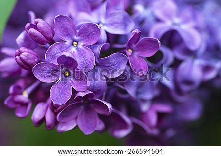 Macro image of spring lilac violet flowers, abstract soft floral background - stock photo