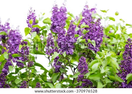 Macro image of spring lilac violet flowers, abstract soft focus floral background