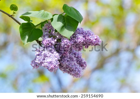 Macro image of spring lilac violet flowers, floral background - stock photo